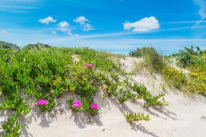 duna-di-sabbia-con-i-fiori-sardegna-92829393